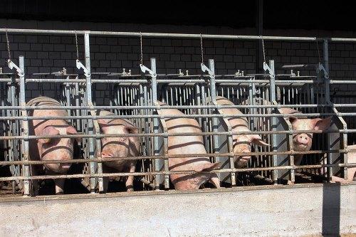 Tiere essen macht krank – Massentierhaltung als Ursache von Pandemien