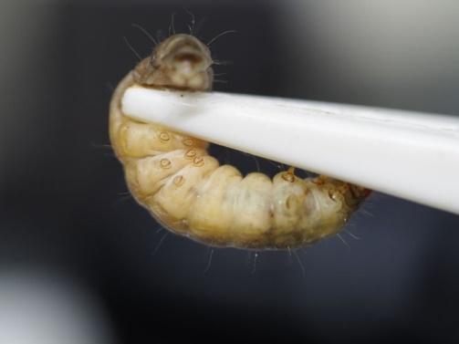 Raupen der Wachsmotte fressen Plastik – Ergebnisse der Studie enttäuschend