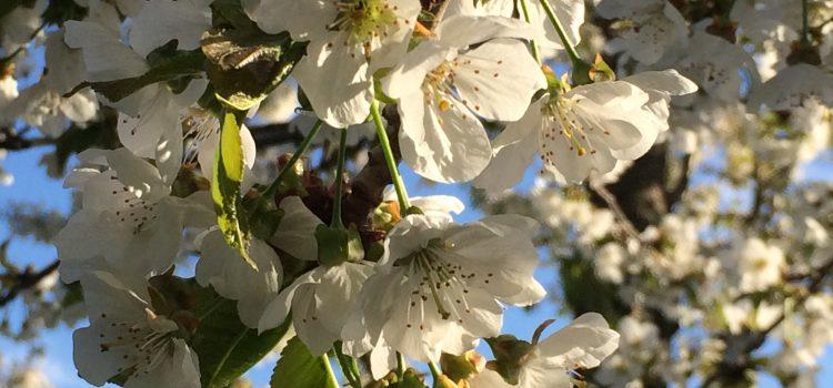 Pollenflug erhöht das Covid-19-Risiko