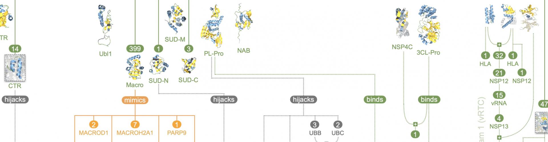 Strukturanalyse enthüllt Tricks des SARS-CoV-2-Virus